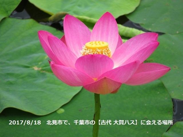 20170818千葉の大賀ハス.jpg