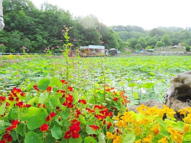 20180727最北のハス池.jpg